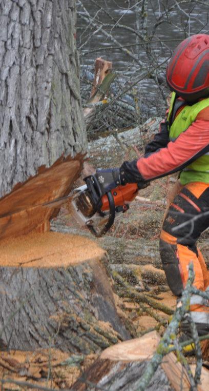 Traditionell trädfällning